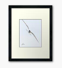 JR Common Tern Framed Print