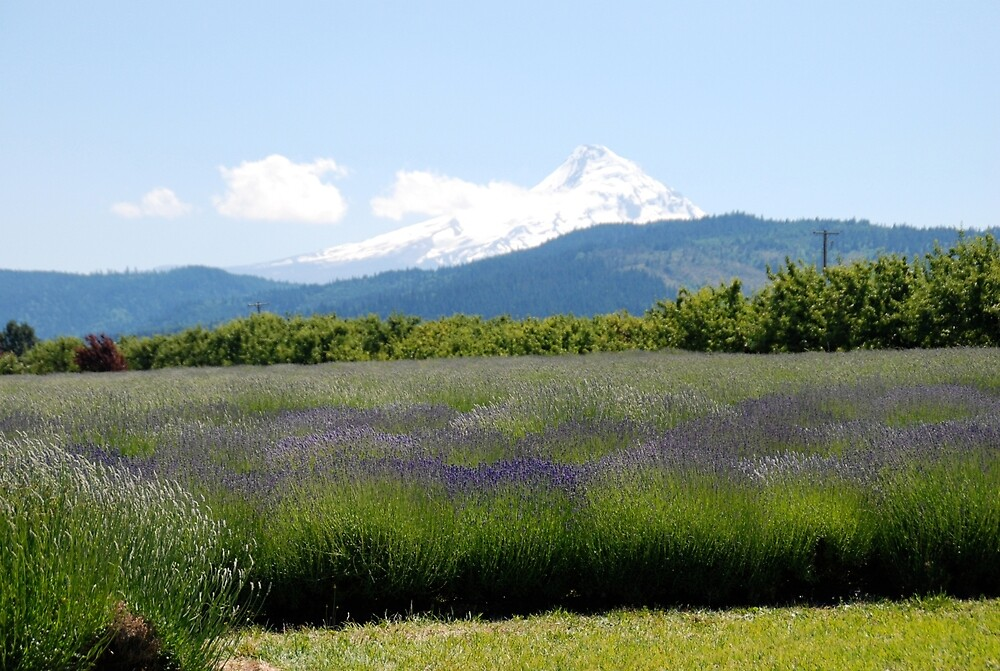 Lavender Field with Mount Hood by Deborah Singer