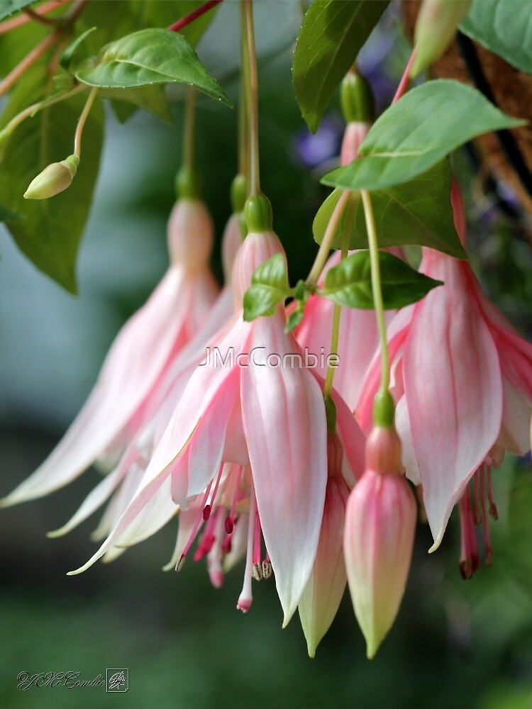 Fuchsia named Sophisticated Lady by JMcCombie