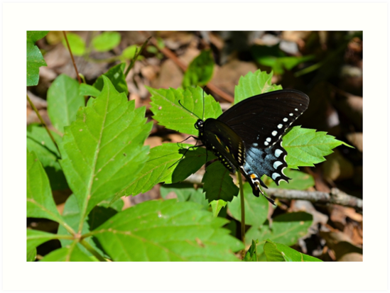 Black Swallowtail by Scott Mitchell
