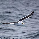 Flying Gull by Mathieu Longvert
