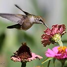 A Sip From a Zinnia by JMcCombie