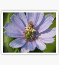 Green Metalic Bee and A Wee Friend on Chickory Flower Sticker