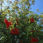 Beeren für die Vögel von SunriseRose