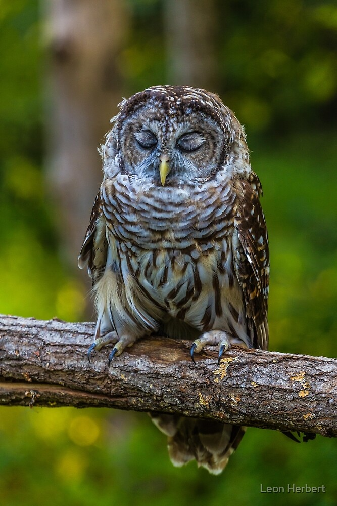 Willow the tired Barred Owl by Leon Herbert