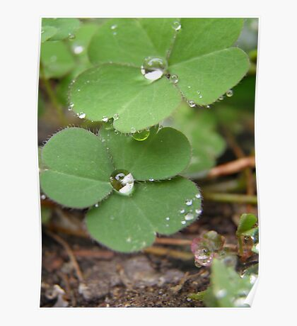 Clovers after Rain Poster