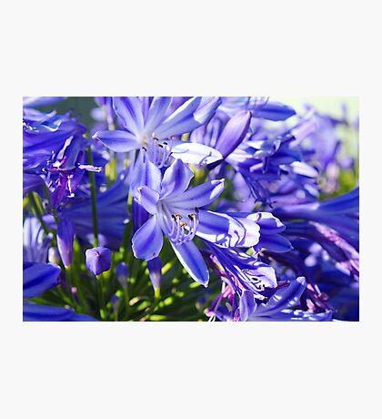 Agapanthus Beauty Photographic Print