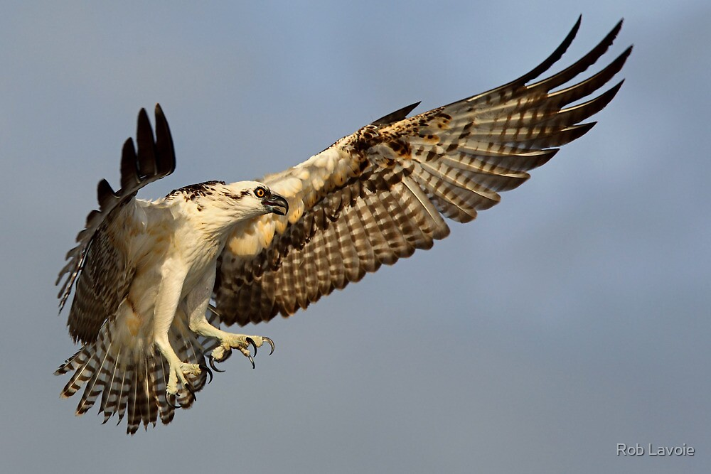 Osprey by Rob Lavoie