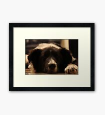 Sleepy collie Framed Print