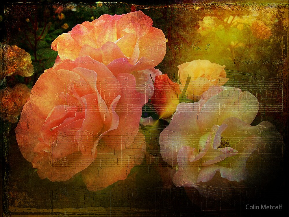 Old Roses by Colin Metcalf