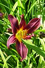 Burgundy lily by LoneAngel