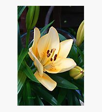Pale Peach Lily Photographic Print