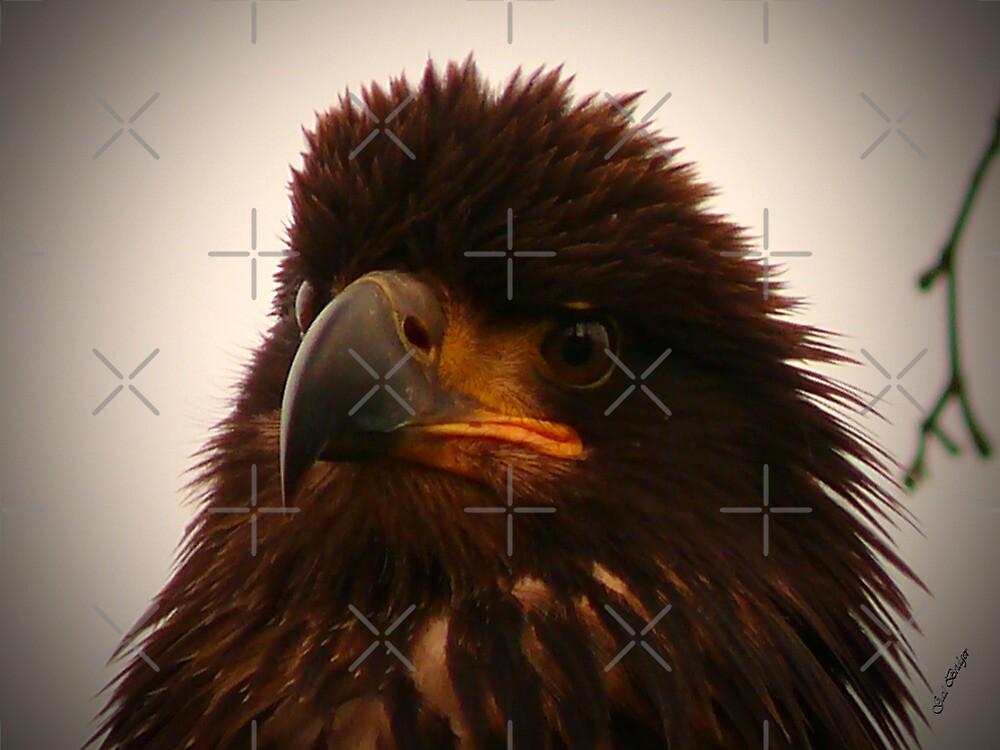 Young Bald Eagle ll by Gail Bridger