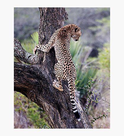 Cheetah Up Tree Photographic Print