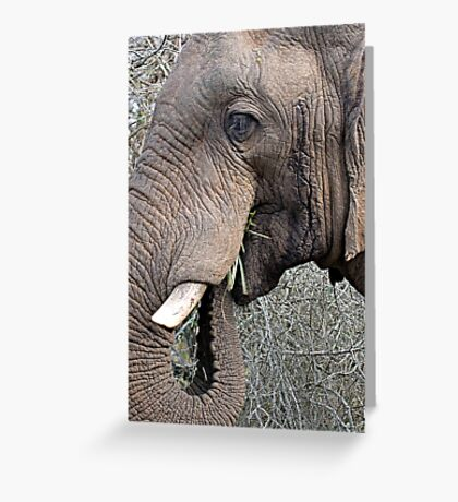 Bull Elephant In Musth Greeting Card