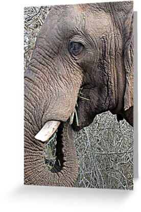 Bull Elephant In Musth by Michael  Moss