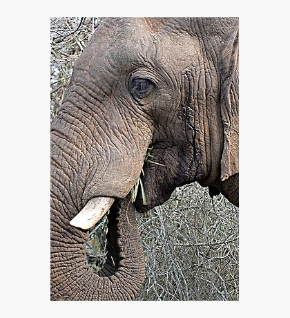 Bull Elephant In Musth Photographic Print