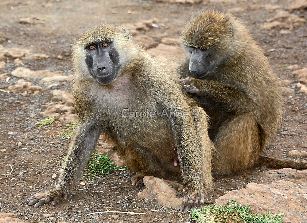 Olive Baboons Grooming by Carole-Anne