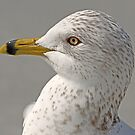 Ringbilled gull up close by Anthony Goldman