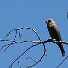Dusky Woodswallow by Gary  Davey (Jordy)