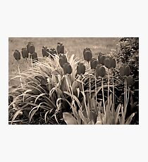 old timey tulips Photographic Print