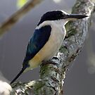 Forest Kingfisher by triciaoshea