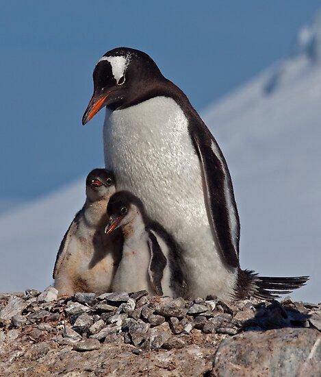 Gentoo Greetings from Antarctica by Krys Bailey
