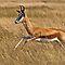 Antelopes in the wild