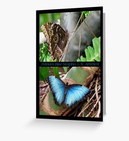 Butterfly (South America) ~ Peleides Blue Morpho Greeting Card