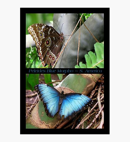 Butterfly (South America) ~ Peleides Blue Morpho Photographic Print