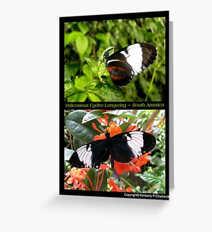 Butterfly (South America) ~ Heliconius cydno Greeting Card