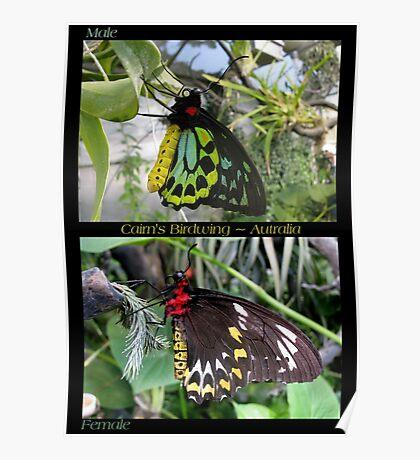 Butterfly (Australia) ~ Cairns Birdwing  ♂ & ♀ Poster