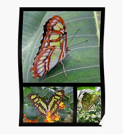 Butterfly (South America) ~ Malachite Poster