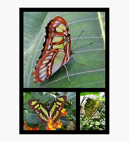 Butterfly (South America) ~ Malachite Photographic Print