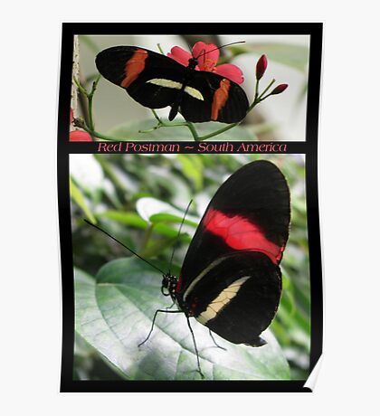 Butterfly (South America) ~ Red Postman Poster