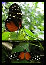 Butterfly (South America) ~ Golden Longwing by Kimberly Chadwick