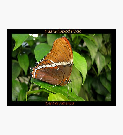 Butterfly (Central America) ~ Rusty-tipped Page Photographic Print