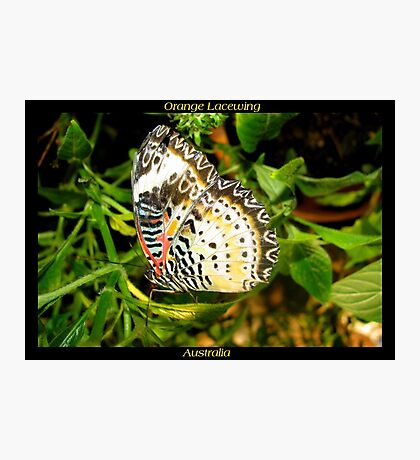 Butterfly (Australia) ~ Orange Lacewing Photographic Print