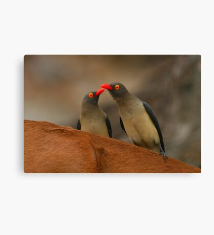 Red-billed Oxpeckers Canvas Print