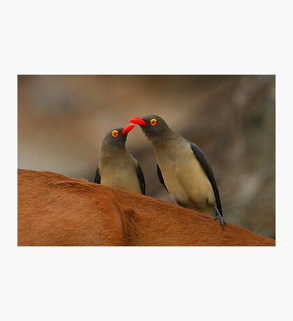 Red-billed Oxpeckers Photographic Print