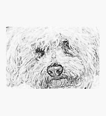 Shaggy Becky the Bichon Photographic Print