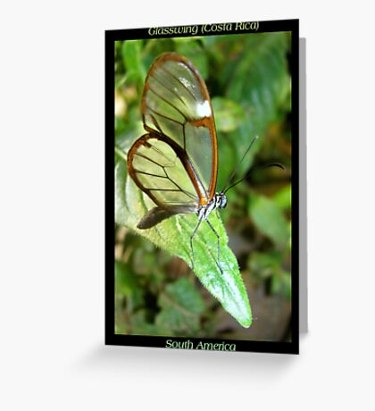 Butterfly (S. America, Costa Rica) ~ Glasswing Greeting Card