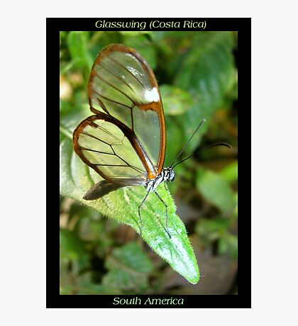 Butterfly (S. America, Costa Rica) ~ Glasswing Photographic Print