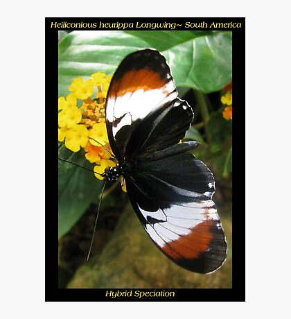 Butterfly (S. America) ~ H. heurppa Longwing Photographic Print