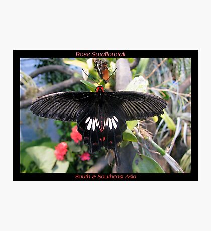 Butterfly (Asia) ~ Rose Swallowtail Photographic Print