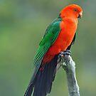 Male King Parrot. Brisbane, Queensland, Australia. (2) by Ralph de Zilva