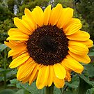 Golden Sunflower by hootonles