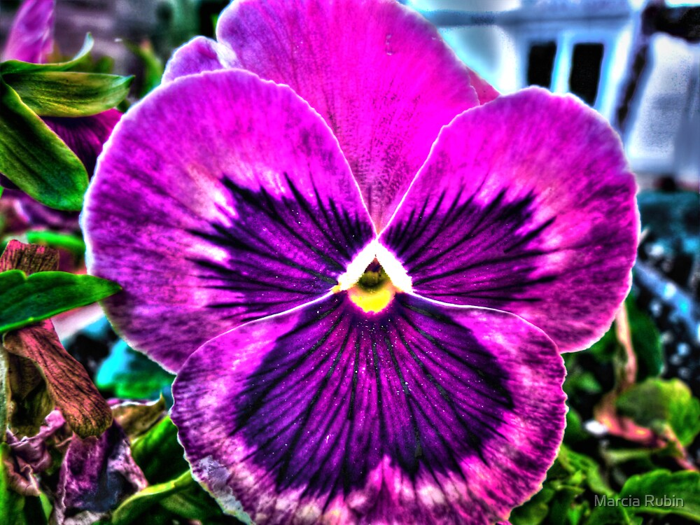 What a Pansy by Marcia Rubin