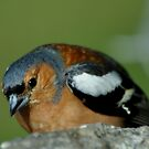 CHAFFINCH by Russell Couch