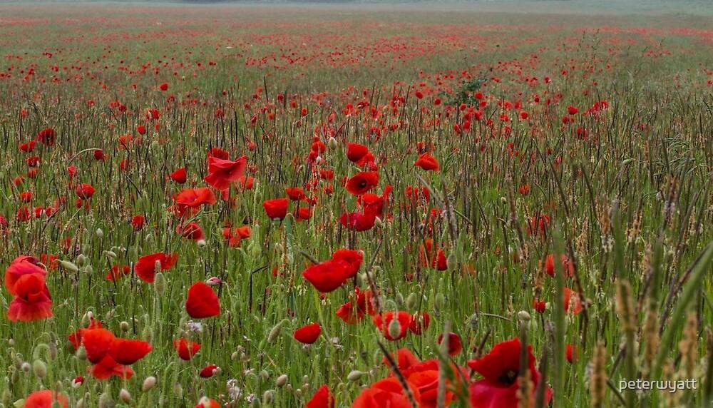just poppies by peter wyatt